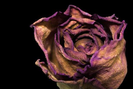 dry roses isolated on black background Stock Photo