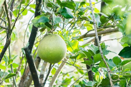 Green fruit on a tree of grapefruit in a farm which is located near Samut Songkhram, Thailand