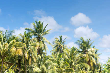 Coconut and sky in The morning. blue skies