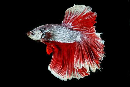 half moon tail: siamese fighting fish, betta splendens isolated on black background