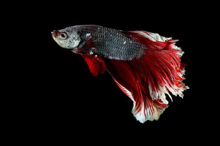 betta splendens: siamese fighting fish, betta splendens isolated on black background
