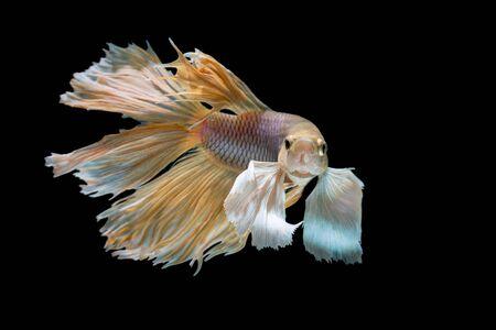 dragon swim: yellow and White siamese fighting fish, betta fish isolated on black