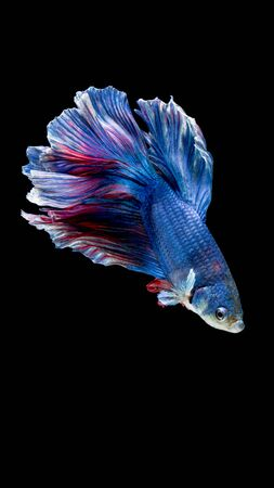 blue fish: Blue and red siamese fighting fish Halfmoon, betta fish isolated on black Stock Photo