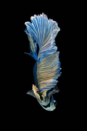 fire fin fighting: Blue siamese fighting fish isolated on black background. Betta fish Stock Photo
