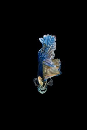 blue siamese: Blue siamese fighting fish isolated on black background. Betta fish Stock Photo