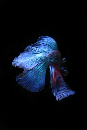 blue siamese: blue siamese fighting fish, betta fish isolated on black Stock Photo