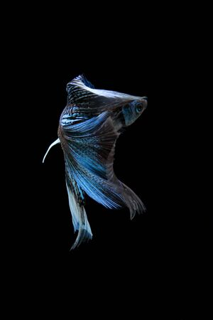 blue fish: blue siamese fighting fish, betta fish isolated on black Stock Photo