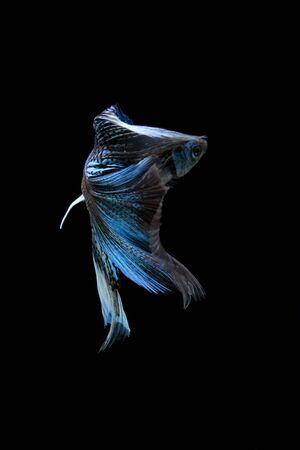 fire fin fighting: blue siamese fighting fish, betta fish isolated on black Stock Photo