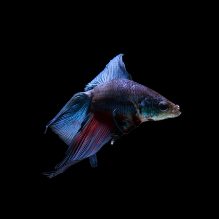 dragon fire: blue siamese fighting fish, betta fish isolated on black Stock Photo