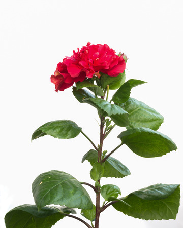 bush to grow up: Hibiscus Flower isolated on white Stock Photo