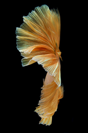 Movement the tail of gold siamese fighting fish isolated on black background. Betta fish