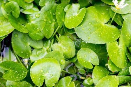 watergarden: water lilies in water-garden Stock Photo