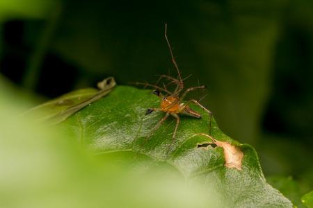 Lynx Spider on the leaf