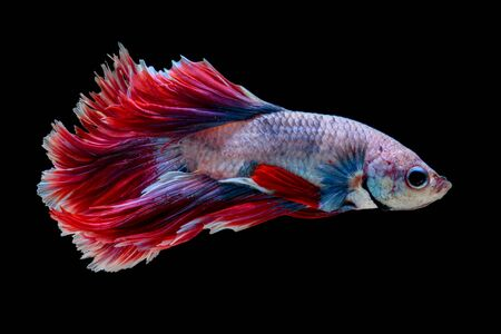 dragon swim: Red and white siamese fighting fish half moon , betta fish isolated on black