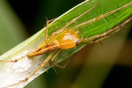 arachnid: Lynx spider guarding its eggs