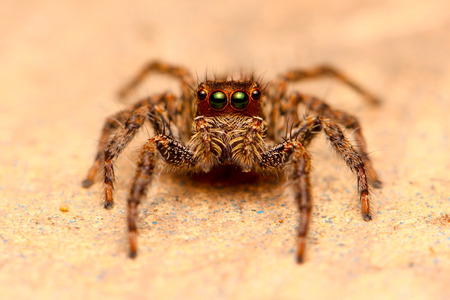 Jumping Spider Stare