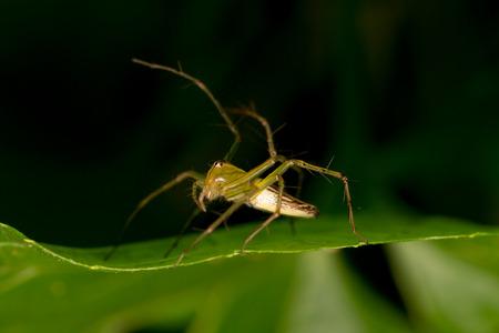arachnoid: Lynx Spider on the leaf