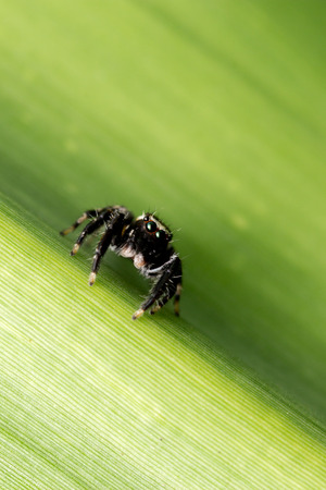 Jumping spider on the green grass leaves