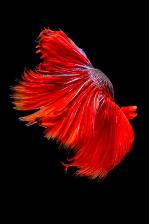Red tail siamese fighting fish half moon , betta fish isolated on black