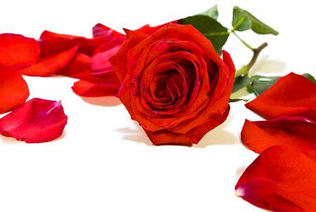 perish: withering rose