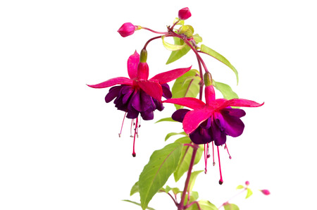 flower fuchsia Zdjęcie Seryjne