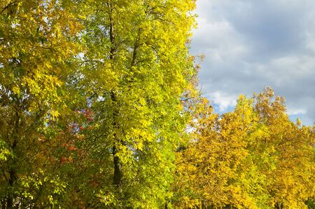 yellowing: yellowing trees in autumn