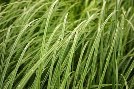 Green grass with dew Stock Photo