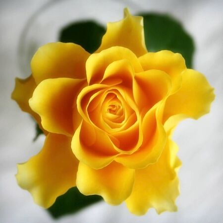 Yellow rose close up petals Stock Photo