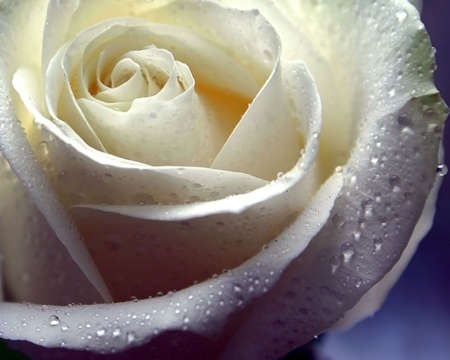 A  white rose with drops of water