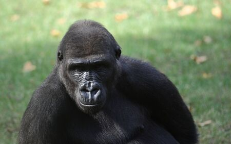 Portrait of a gorilla in a zoo Stock Photo - 5821620