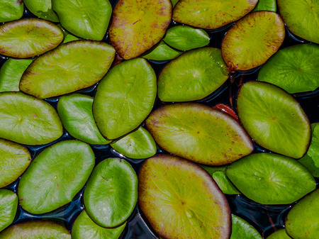 Lilly Pads floating on the water