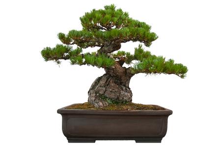 Bonsai pine tree isolated on white background