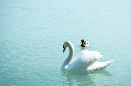 Beautiful swan on a blue lake Stock Photo