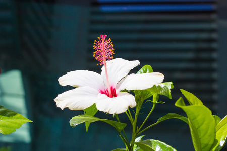 Hibiscus flower in the garden, detail of the stamen and pistil Banco de Imagens