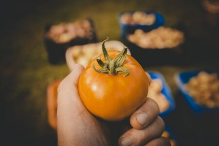 Fresh tomato harvest in a mans hand, summer harvest, toned photo