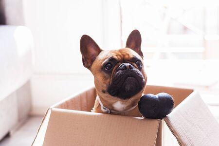 Stock Foto von einem Welpen französische Bulldogge in einem Karton mit einem Spielzeugknochen