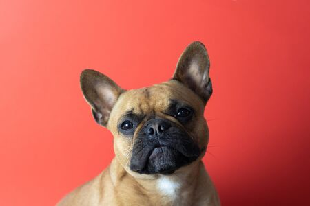 Puppy French Bulldog on red background