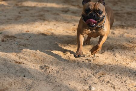 Happy French Bulldog running in the park Фото со стока