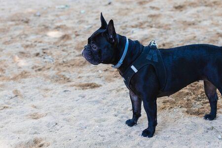 Beautiful French Bulldog in the park Фото со стока