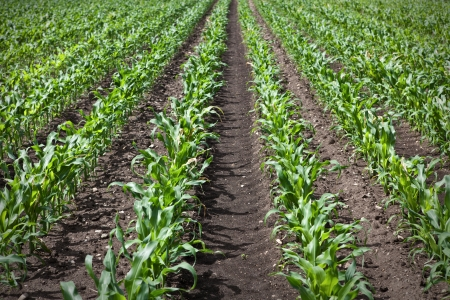 grain fields: young corn growing on a field Stock Photo