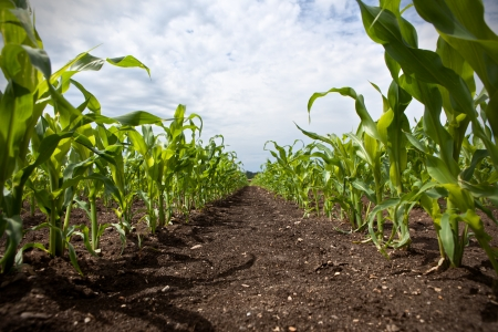 cornfield: young corn growing on a field Stock Photo
