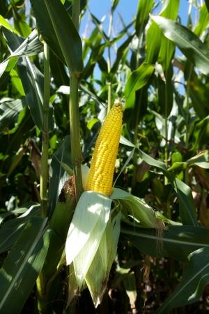cornfield: Corn on plant ready to harvest