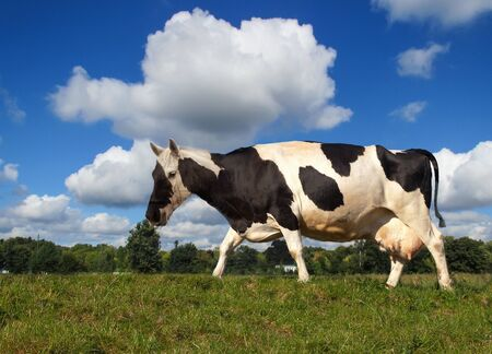 horse meat: Horse-Cow the new breeding on a green meadow Stock Photo