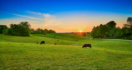 Cows grazing at sunset. Imagens