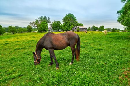 Horse grazing on fresh spring grass in a field. Imagens