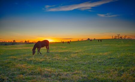 Thoroughbred horses grazing at dusk with setting sun. Imagens