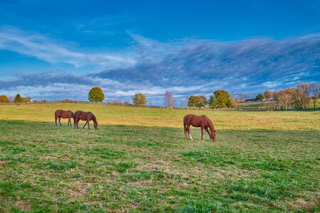Thoroughbred horses grazing In a open field.