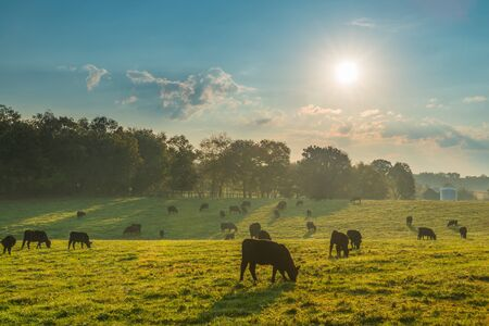 Cows grazing in the morning sun.