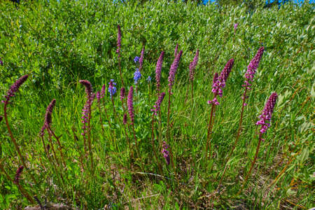Payette Penstemon growing along a river bank. 写真素材