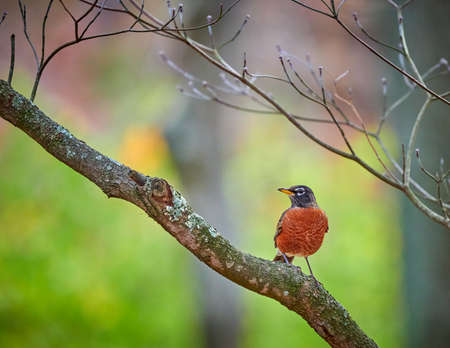 Colorful American Robin sitting in a Dogwood Tree.
